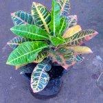 Petro Croton