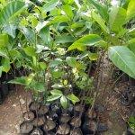 Jack Fruit Plants
