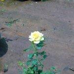 Sent Rose