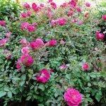 Kasmeer Rose