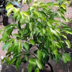 Black Ficus