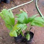 Lithuania Palm